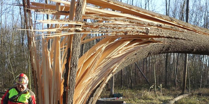 Baumhaftung und Eschen